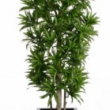 Flame Retardent Draceana Reflexa Green Artificial Tree