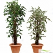 Flame Retardent Ficus Trees Artificial Tree