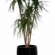Dracena Marginarta Tree Artificial with Natural Trunk 19