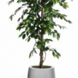 Fat Ficus Tree Artificial with Natural Trunk 35