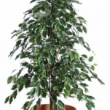 Ficus Varigated Tree Artificial with Natural Trunk 38