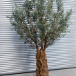 Olive Tree large Artificial with Natural Trunk and olives 49