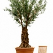 Olive Large Olive Tree Artificial with olives 50