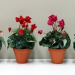 Artificial Cyclamen plants
