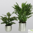 Replica Silver Queen Plants