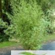 Bamboo Tree  Bambusa-Phyllostachys-Aurea