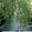 Betula Tree