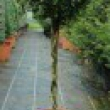 Buxus-Macrophylla