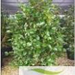 Camellia-Japonica-bush