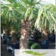 Chamaerops Palm