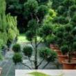 Cupressus-Cyparis-Leylandii-castlewellan-gold-multi-ball