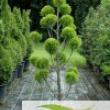 Cupressus-Macrocarpa-Goldcrest-