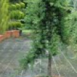 Juniperus-Conferta