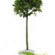 Bay Tree Laurus-nobilis-Standard