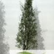 Olive Tree Olea-cipressino