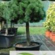 Pinus-Mugo-Mops