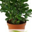 Crassula - Money Plant