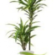 Dracaena \'Lemon Lime\'