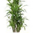 Dracaena \'Lemon Lime\' Branched