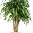 Dracaena massangeana Branched