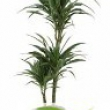 Dracaena warneckii \'White Stripe\'