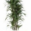 Dracaena warneckii \'White Stripe\' Branched