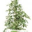 Ficus \'De Gantel\' Starlight