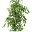Ficus \'Golden King\'