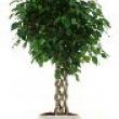 Ficus Cylinder Stem