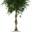 Ficus benjamina Braided