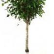 Ficus benjamina Straight Stem