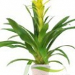 Guzmania \'Hilda\' (Yellow)