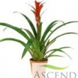Guzmania Grand Prix Red Flowering